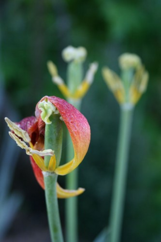 tulip7.jpg